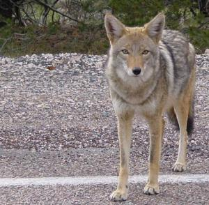 A coyote stands at the edge of an Arizona road. (Photo credit: Flickr user emdot)