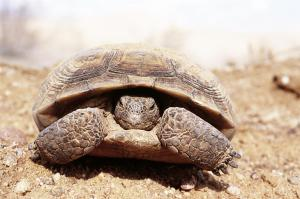 "The U.S. Fish and Wildlife Service recognizes that it has not evaluated the potential long-term effects of big renewable energy projects that fragment or isolate desert tortoise conservation areas, possibly ""cutting off gene flow between these areas."" (Photo credit: Pierre Fidenci, UC Berkeley via Wikimedia Commons)"