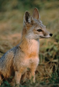 The San Joaquin kit fox, federally protected since 1967, has established itself in the oil towns of Bakersfield, Taft, and Coalinga. (Photo credit: B. Peterson, U.S. FWS via Wikimedia Commons)